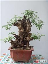 澳门网上投注娱乐遍地都有的荆条树制作盆景竟然这么漂亮!