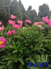 五一不用出去添堵,就在家默默的看朋友圈-中江芍药谷的芍药花