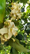 柚子花养生记~4月中旬至5月下旬,是松林柚子花开放最为繁盛的季节