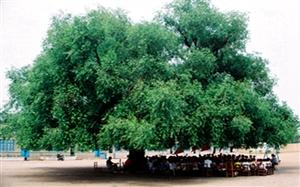 威尼斯人娱乐开户最大的树
