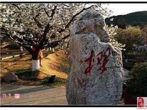 大连旅顺樱花节与家乡亲人们分享