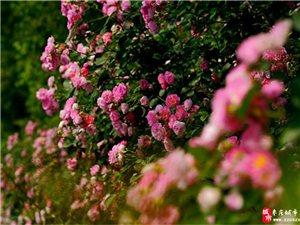 枣庄:因风飞过蔷薇院 雨晴香指醉人头