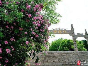 枣庄:因风飞过蔷薇院