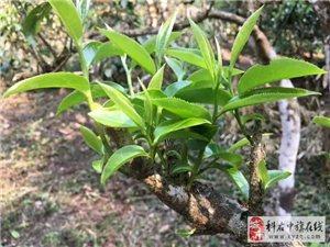 2017年大滇制茶日�之15 追逐�p峰之路