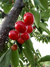 看庄~金山樱桃