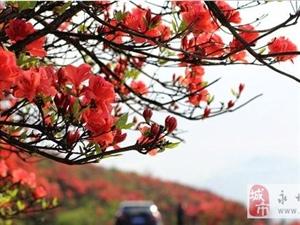 阳明山野生杜鹃绽放红遍山野宛如仙境