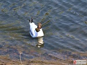 红嘴鸥――吃螺