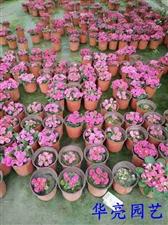 红黄兰绿粉,看您喜欢谁?华亮园艺的草花颜色丰富,欢迎来电添置