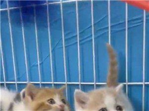 家养五只品相好的短毛猫儿,便宜卖了