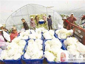 蒙城:有机花菜陆续采收
