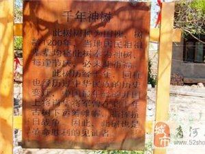 """商河""""神树""""!树龄1200年现仍枝繁叶茂"""