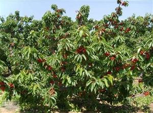 推荐一下泰安的樱桃园,哪个比较好