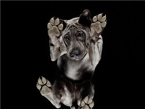 很多很有特色的狗,�它��站在�@�K透明的玻璃上,拍下它��神情和姿�B