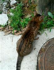 这是梨花猫吗