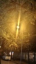 银杏又称(白果):夏之绿色!秋之金色!