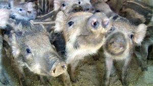 我在建宁养野猪;80后的建宁人在奋斗。。