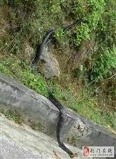 网上疯传:大学校园发现眼镜蛇
