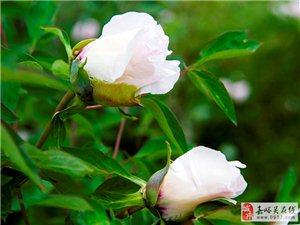 【原创】国色天香――牡丹花