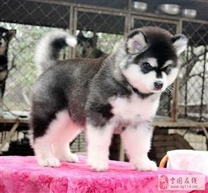 可爱的阿拉斯加犬,超活泼又迷人的狗狗