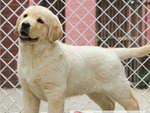 特别聪明好养的拉布拉多犬