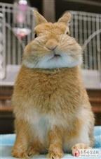 一只岛国的兔几早上起床了发现自己脸睡歪了 于是自己动手把它掰正了