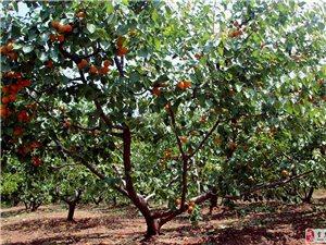 又是一个杏熟时节