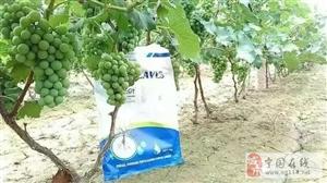 磷酸二氢钾如何用之――葡萄篇!