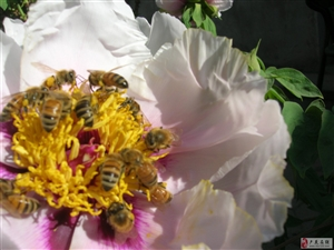 听牡丹蜂会为美好生活歌唱?