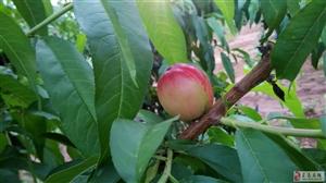 桃子快成熟了!