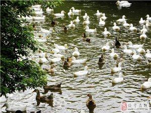 山涧小溪中游荡鸭子