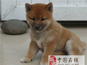明星同款柴犬,绝对纯种,可送货
