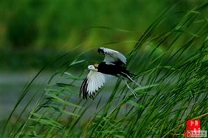 濮阳金堤河湿地公园—水雉