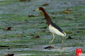 濮阳金堤河湿地公园—池鹭