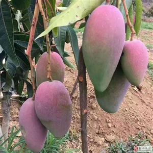 攀枝花又到芒果成熟季