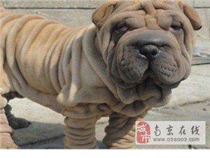 高品质大骨架沙皮犬找新主人签订购犬协议