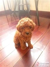 家里的泰迪狗狗三个月了 一直打喷嚏