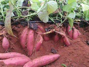 舌尖上的临潼——月掌村红薯