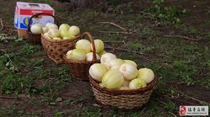 镇赉甜瓜新品种展示观摩品尝会――乡约黑土地亲情奉献