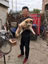 铁东黑交院附近,捡到一条秋田犬公狗