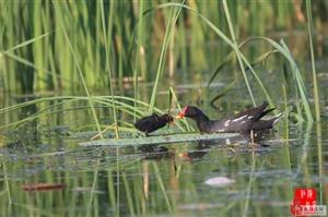 濮阳金堤河湿地公园—水鸟的天堂