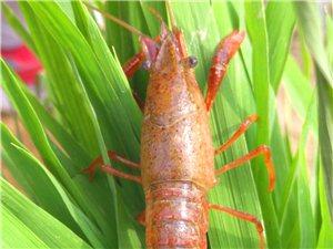 六合有个稻虾混养基地
