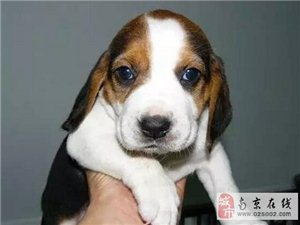 纯种血统比格犬找新主人啦 免费注射疫苗保证健康