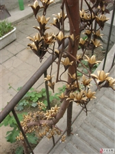 献给无花果的香椿花