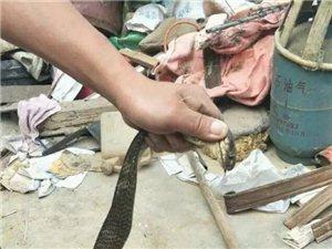 吓!一农户家竟有1.5米长的眼镜蛇来串门!
