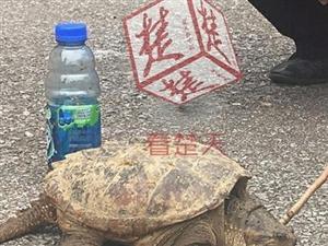 八旬老汉菜地里捡到大龟专家:切勿放生可以吃