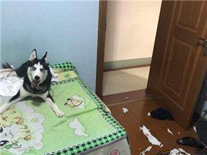 下班回家客厅一尘不染,以为二哈被偷了,打开卧室门后,想哭