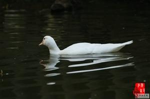 濮上园里的水鸟