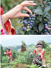 南宝山蓝莓旅游节甜蜜来袭