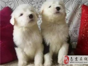 出售优秀黑白通背古代牧羊犬 终身有质保