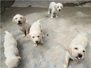 售两个月大拉布拉多幼犬!